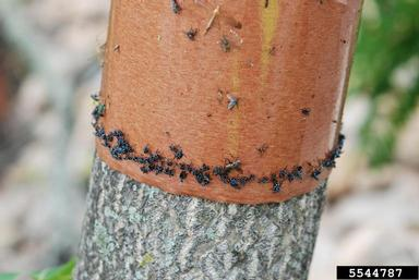 The spotted lanternfly citizen science banding project